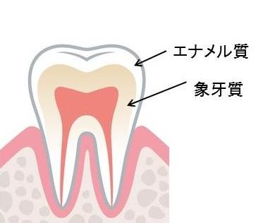 歯 構造2-3